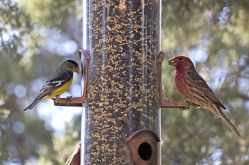 Bright birds, American Goldfinch, House Finch on bird feeder