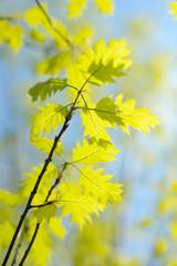 Oak branch in spring