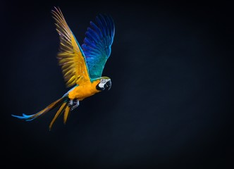 Wall Mural - Colourful flying Ara on a dark background