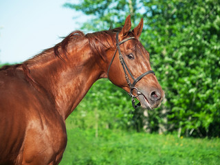 Motion portrait of chestnut Trakehner stallion