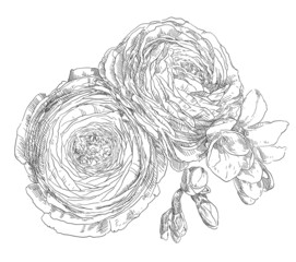 Hand drawing ranunculus flower blossom