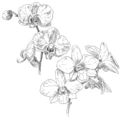 Hand drawn orchid flower