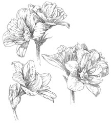 Hand drawing amaryllis flower blossom