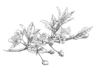 Hand drawing apple flower blossom