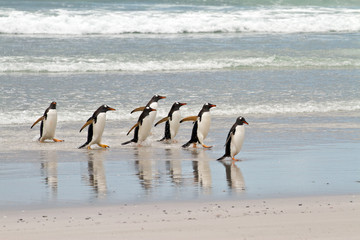 Gentoo penguins waddle out of the sea
