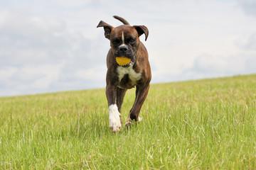 Laufender Boxer mit Ball