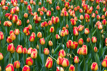 Red and Yellow tulips field