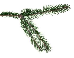 dark green fir branch isolated on white