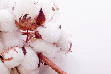 white soft cotton plant