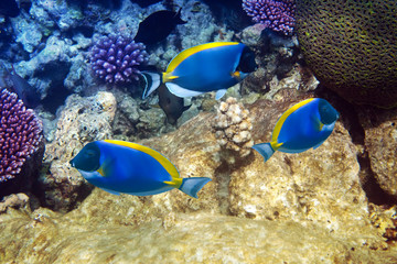 Powder blue tang in corals