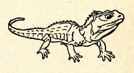 Northern tuatara (Sphenodon punctatus)
