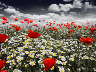Obraz Poppies in a field in black and white - fototapety do salonu