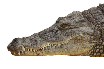 photograph of the head of a nile crocodile