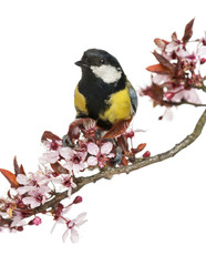 Male great tit perched on a flowering branch, Parus major