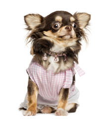 Dressed up Chihuahua looking stunned, sitting, isolated on white