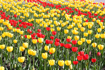Background of red and yellow tulips