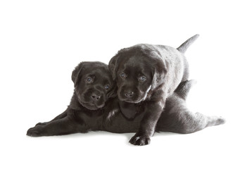 Fotobehang - Black Labrador Retriever Puppy