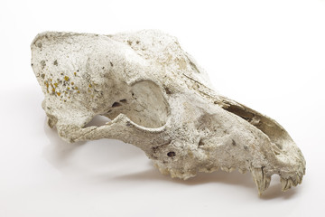Dog skull on white background