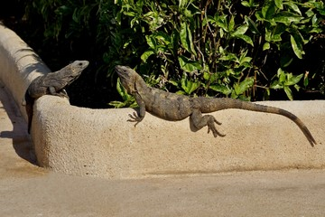 Two lizards are basked in the sun