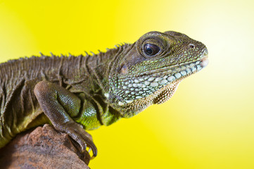 Portrait of beautiful water dragon lizard reptile sitting on a b