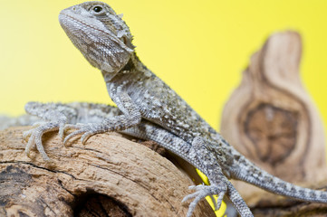 Close up portrait of babies reptile lizards bearded dragons