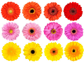 Wall Murals Gerbera Collection of Fresh Gerbera Flowers Isolated on White