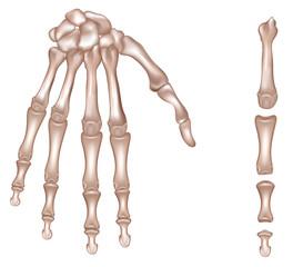 Bones of the right hand