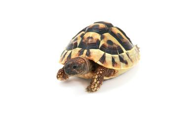 Hermann's tortoise on white
