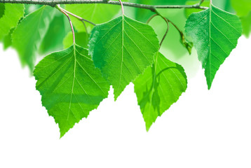 birch branch with green leaves isolated on white