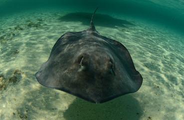 Wall Mural - Stingray swimming in the ocean underwater