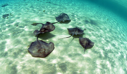 Wall Mural - A group of stingrays swimming in the ocean
