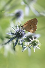 The butterfly on the Sea Holly flower