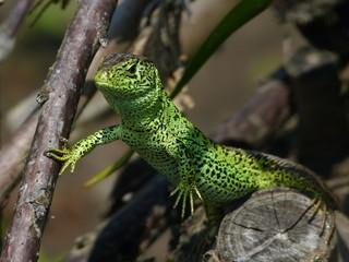 Reptile, Lacerta bilineata in the Sun -  vigilant lizard