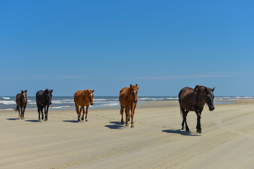 Spanish mustangs wild horses on the beach in north carolina
