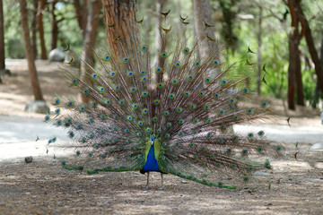 A peacock displaying his plumage