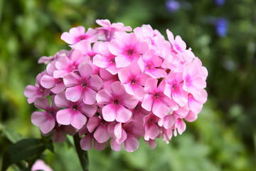 Close up pink phlox