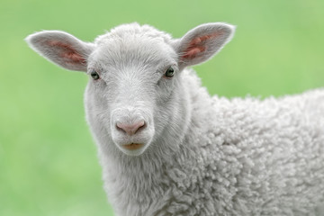 Fond de hotte en verre imprimé Sheep Face of a white lamb