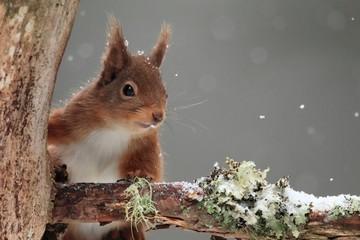 Red Squirrel (Sciurus vulgaris) in Falling Snow