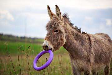 Grey donkey with toy