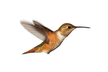 Fotoväggar - Rufous Hummingbird (Selasphorus rufus)