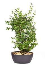 Bonsai vor weißem Hintergrund