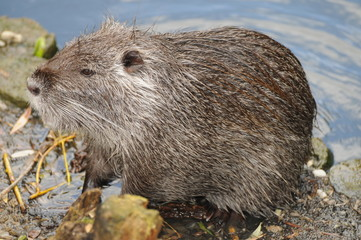 European Or Eurasian Beaver