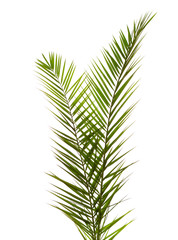 Isolated Two  Palm Leaves on white background