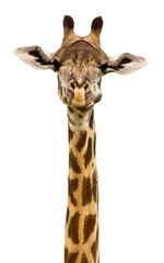 Giraffe head Isolated