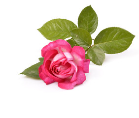 Beautiful rose with leaves isolated on white
