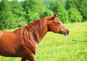 walking chestnut arabian horse in the field
