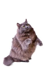 Grey cat interestedly raises up