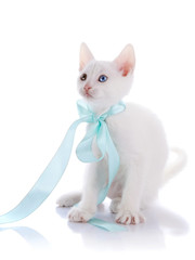 The white kitten with multi-colored eyes and a blue bow.