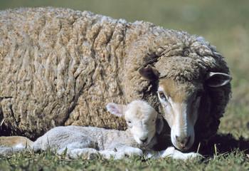 Wall Mural - Merino sheep with new lamb