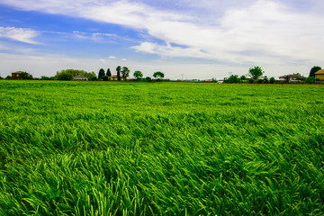 Green wheat field near farm